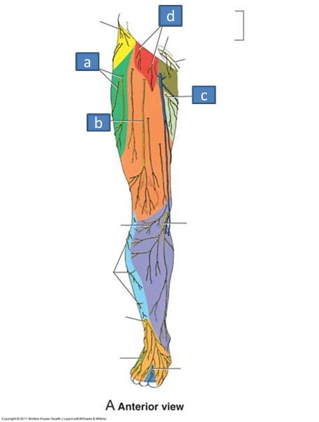 femoral nerve tract – citybeauty, Muscles