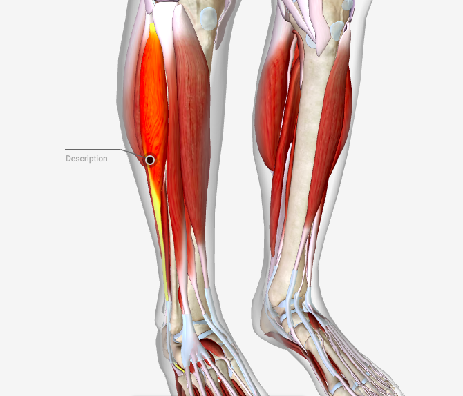 fibularis longus pain - 670×574