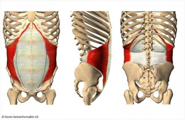 Muscle S Origin Insertion Main Action Flashcards