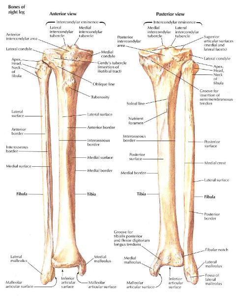 lateral condyle tibia - photo #17