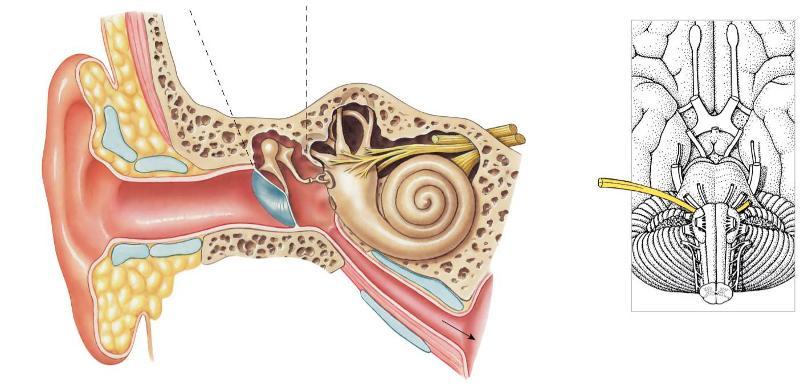 Human Anatomy Chapter 18 Flashcards