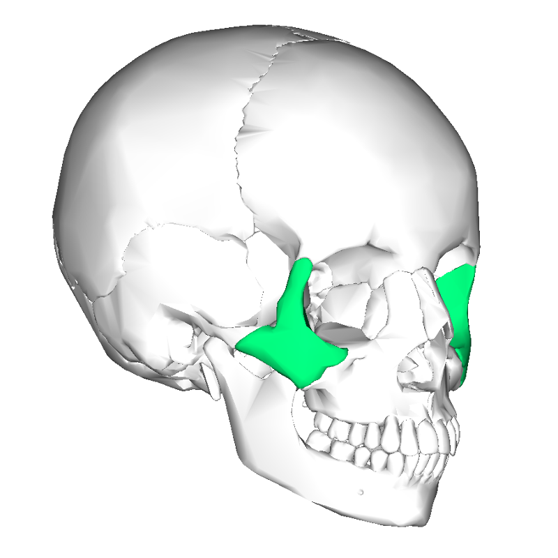 RA L2: Facial Bones Flashcards | Easy Notecards