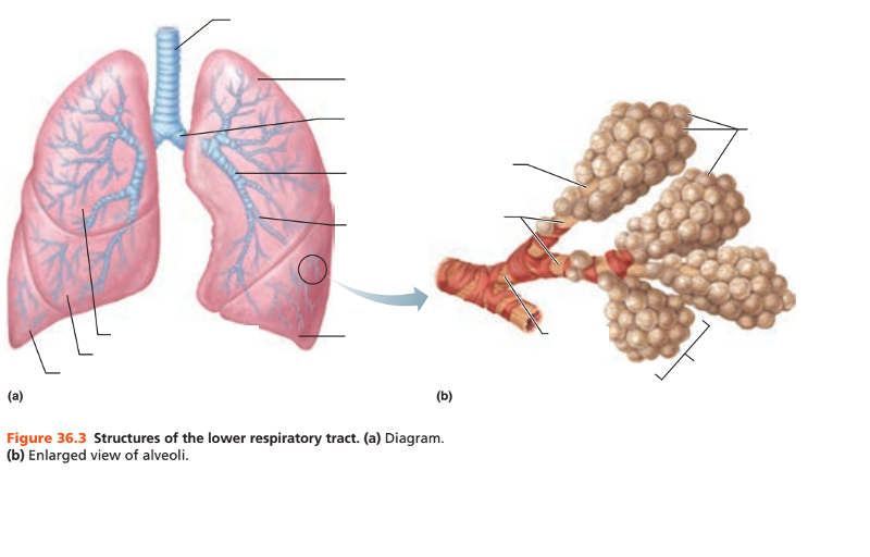 Activity 1 Identifying Respiratory System Organs Upper And Lower