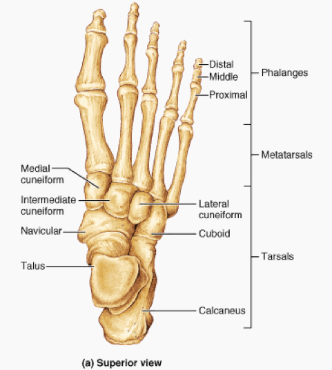 Print Week  6 Lower Appendicular skeleton cont flashcards   Easy Notecards