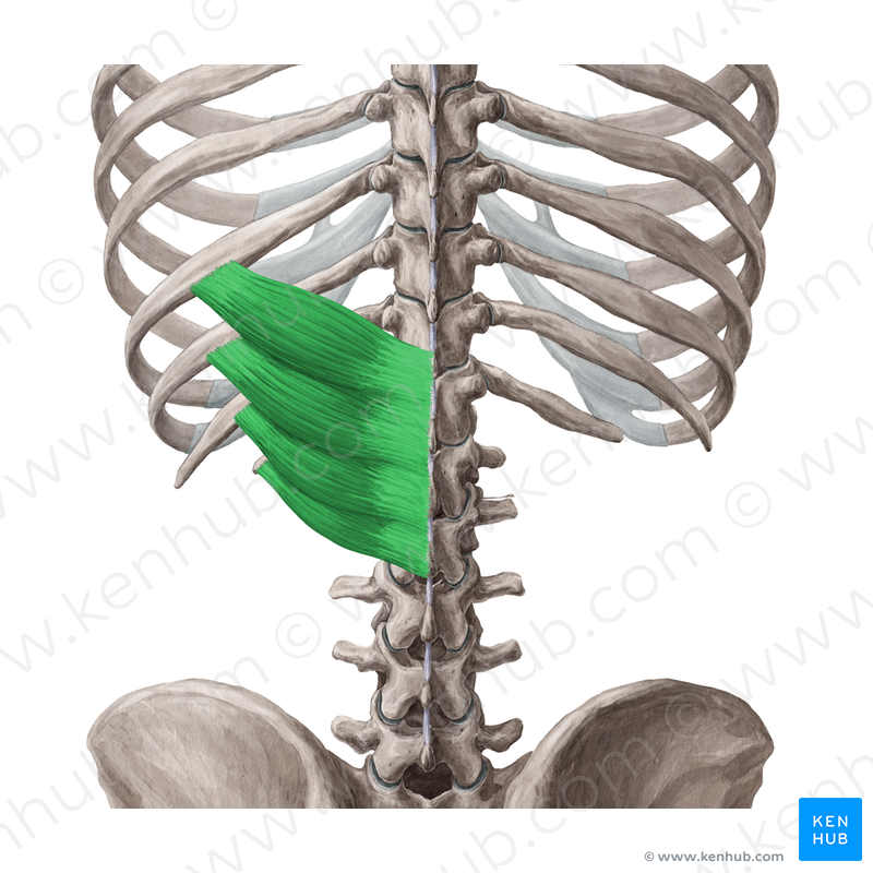 Print Gross Anatomy Exam I Bones And Oiia Flashcards Easy Notecards …vertebra, but its continuation, the filum terminale, can be traced through the sacrum to the first coccygeal vertebra. print gross anatomy exam i bones and