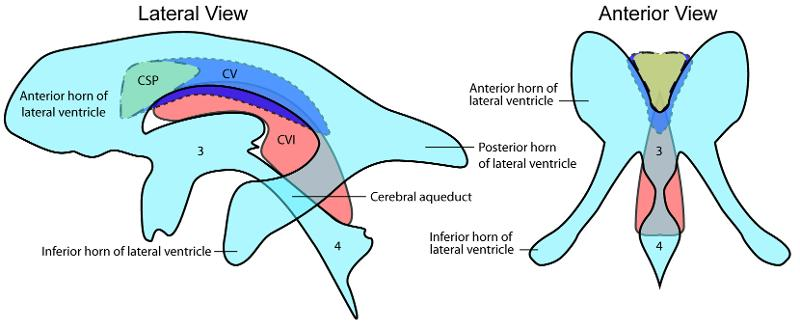 Function of the occipital lobe