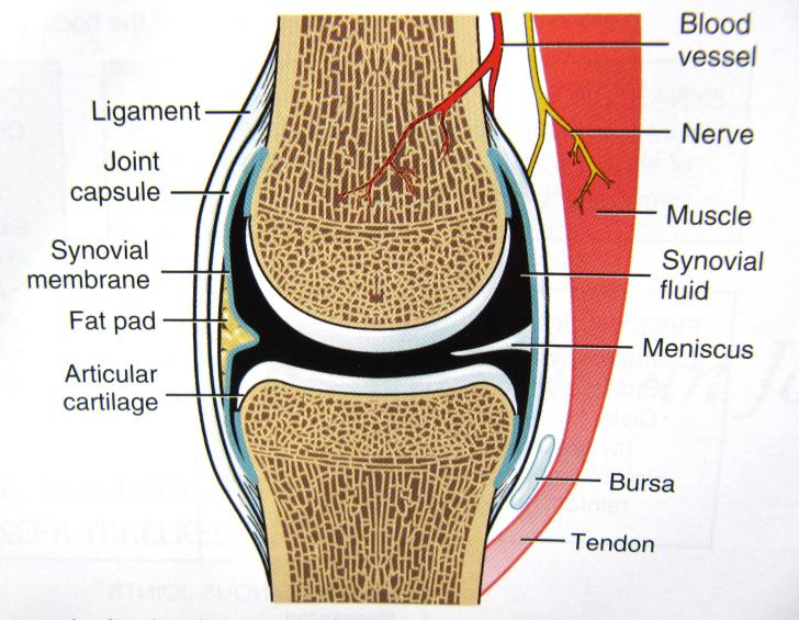 Healthy wealth: Joint Cartilage and Bone Circulation