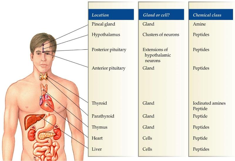 Human Physiology Chapter 7 Flashcards | Easy Notecards