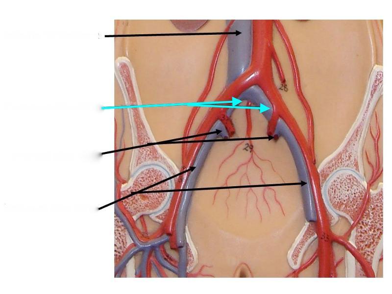 Common hepatic artery anatomy