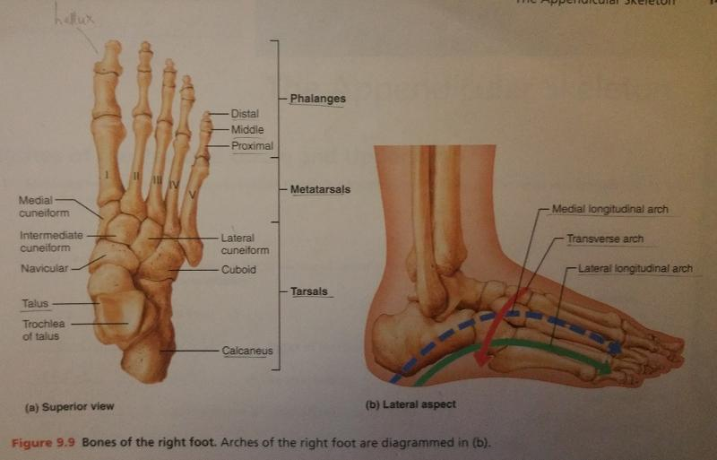Activity 5: Surface Anatomy of the Lower Limb Flashcards | Easy ...
