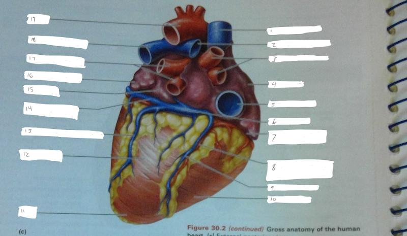 Anatomy Of The Heart Exercise 30 Flashcards Easy Notecards