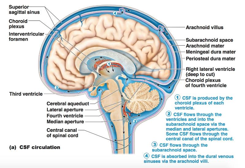 Print Chapter 12 The Cns Brain And Spinal Cord Flashcards Easy
