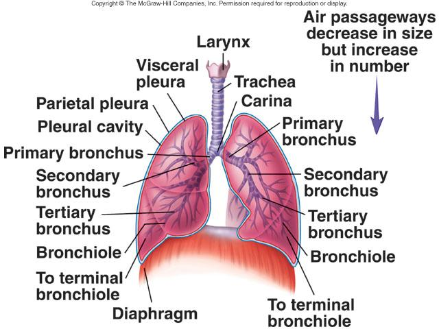 yamaha golf cart secondary clutch diagram respiratory system week #8 flashcards | easy notecards secondary bronchi diagram labeled
