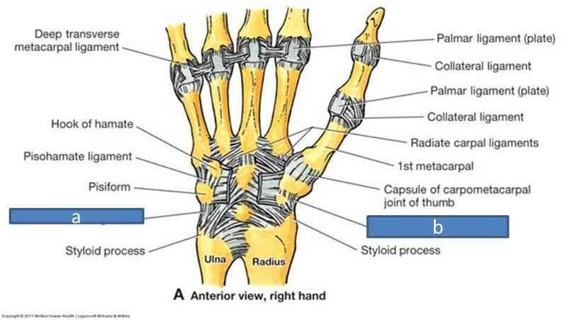 ligaments of the upper limb Flashcards | Easy Notecards