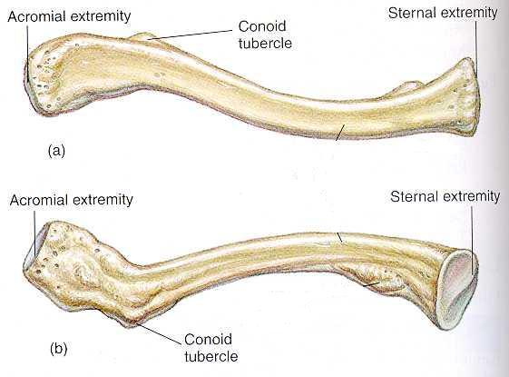 Appendicular skeleton ...