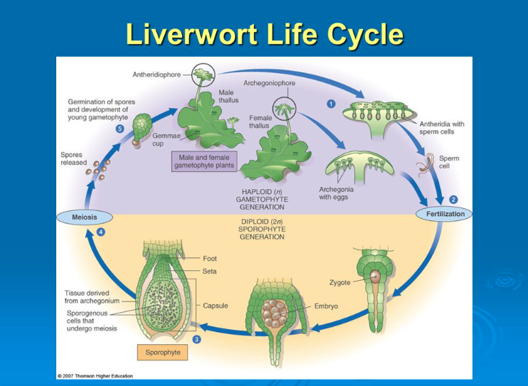 Seedless vascular plants life cycle
