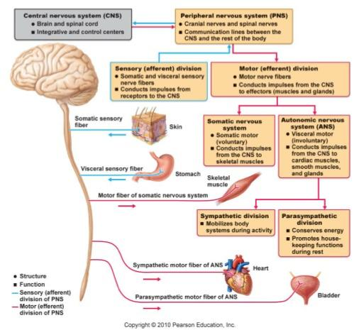 the description of hallucinogens and their effects of the central nervous system Description: how lsd so will the research of the effects of lsd on the central nervous system effect on brain and it's receptors and possible medical use.