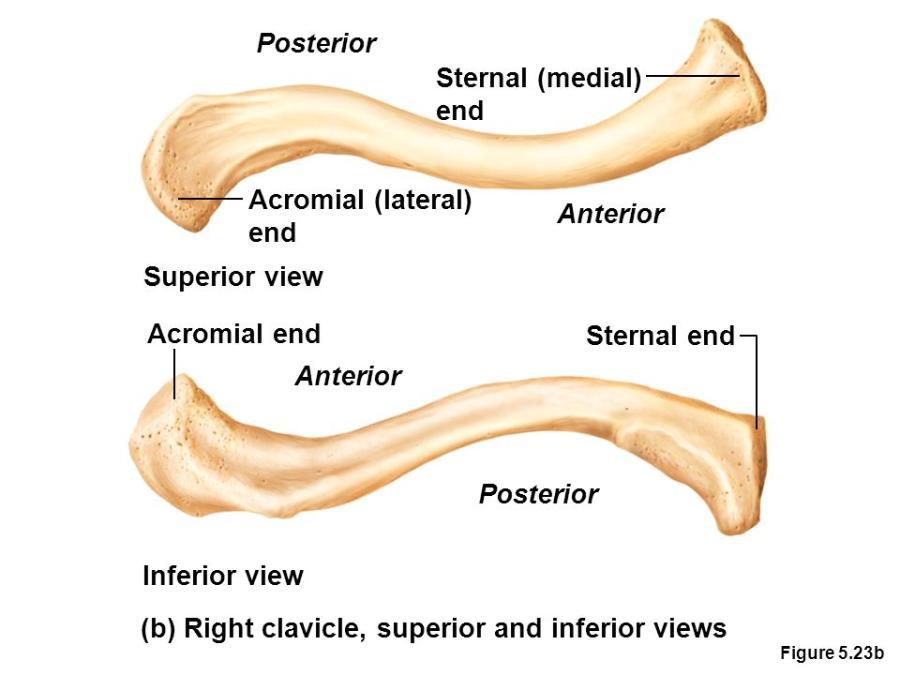 human anatomy chp 7 Flashcards | Easy Notecards