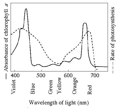 an analysis of the effects of various wavelengths on photosynthetic rate You're conducting an experiment to determine the effect of different wavelengths of light on the absorption of carbon dioxide as an indicator of the rate of photosynthesis in aquatic.