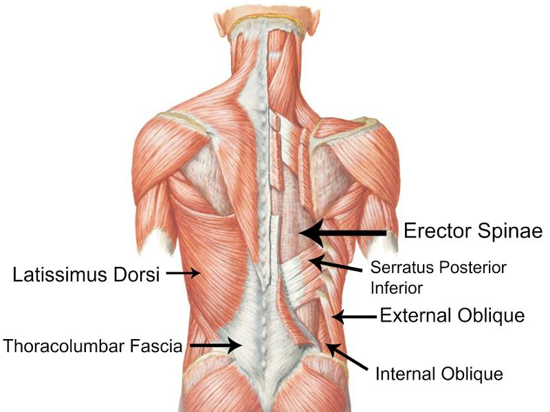 deep muscles of the back & muscles of the shoulder and arm, Human Body