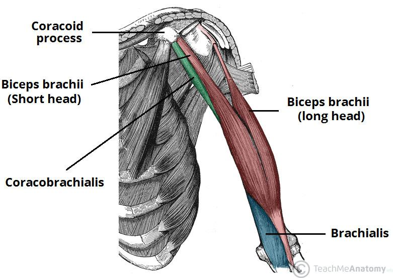Deep Muscles Of The Back  U0026 Muscles Of The Shoulder And Arm