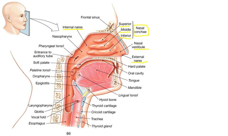 Nasal System Image collections - human anatomy organs diagram