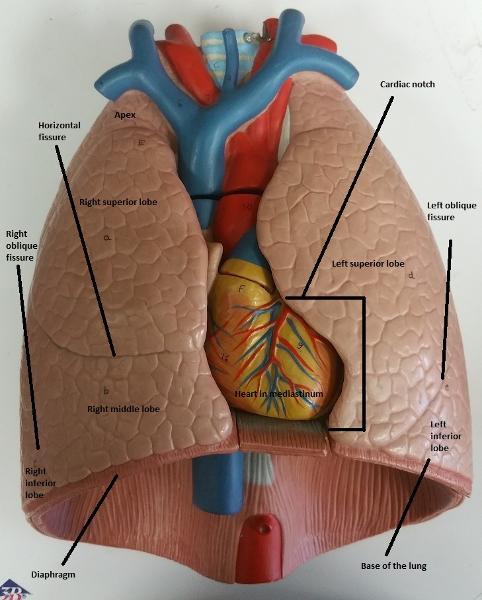 Activity 1  Identifying Respiratory System Organs