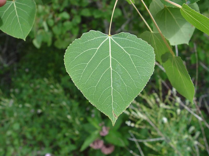 White Poplar Tree Leaf Tree Identification Fl...