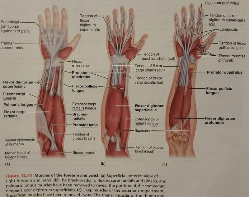 Activity 3 Muscles Of The Upper Limb And Identifying Muscles Of The