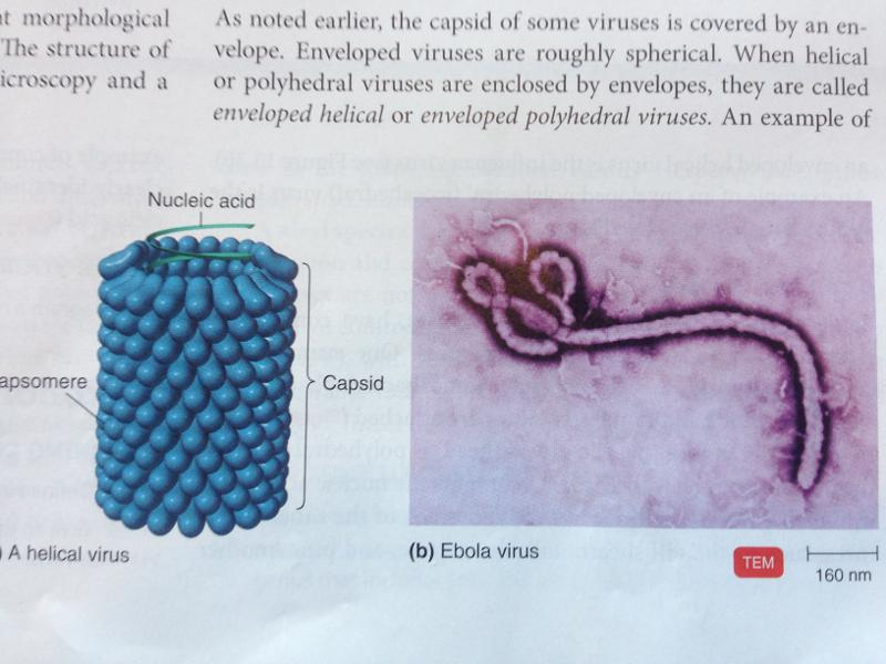 Enveloped Helical Virus