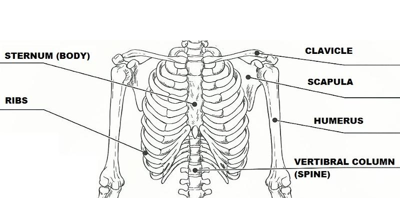 exercise 11  the appendicular skeleton flashcards
