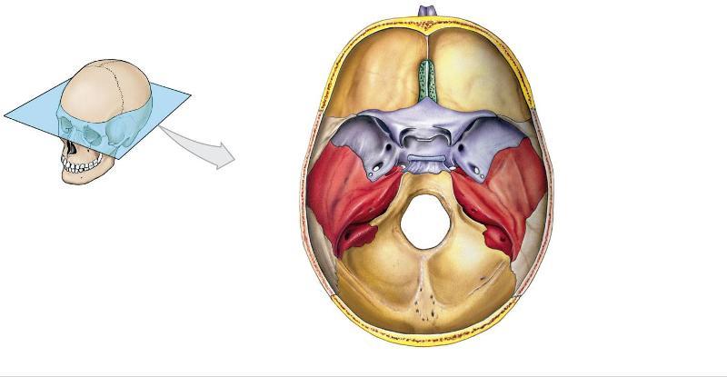 Crest anatomy definition