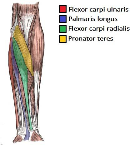 print muscles of the forearm and hand flashcards easy notecards