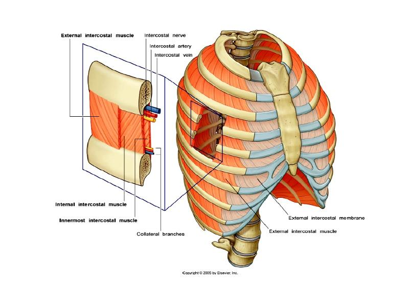 Myology Axial Muscles Intrinsic Muscles Of The Thorax Flashcards