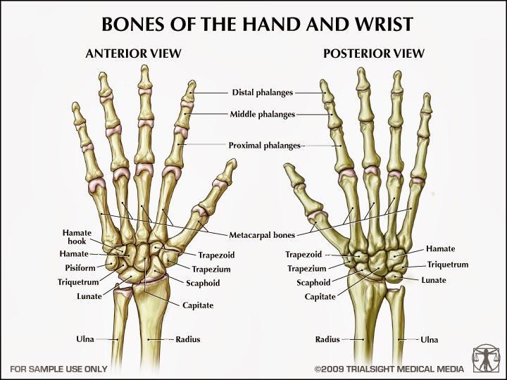 appendicular skeleton flashcards