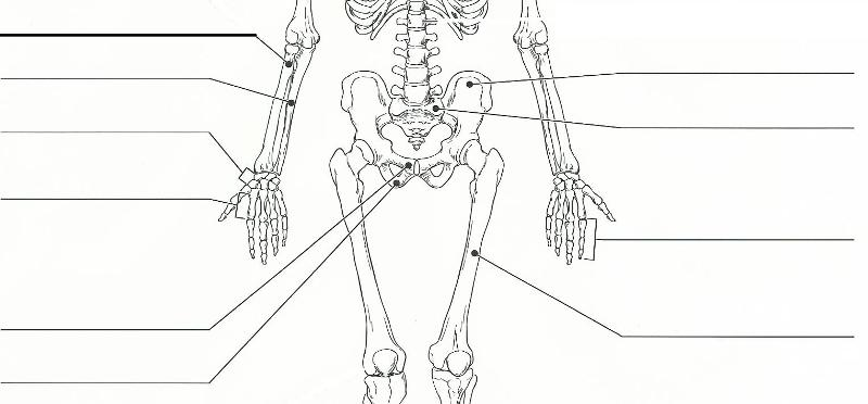 Exercise 11: The Appendicular Skeleton Flashcards | Easy Notecards