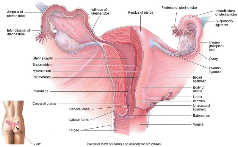 Reproductive System Of The Female Week 14 Flashcards Easy Notecards