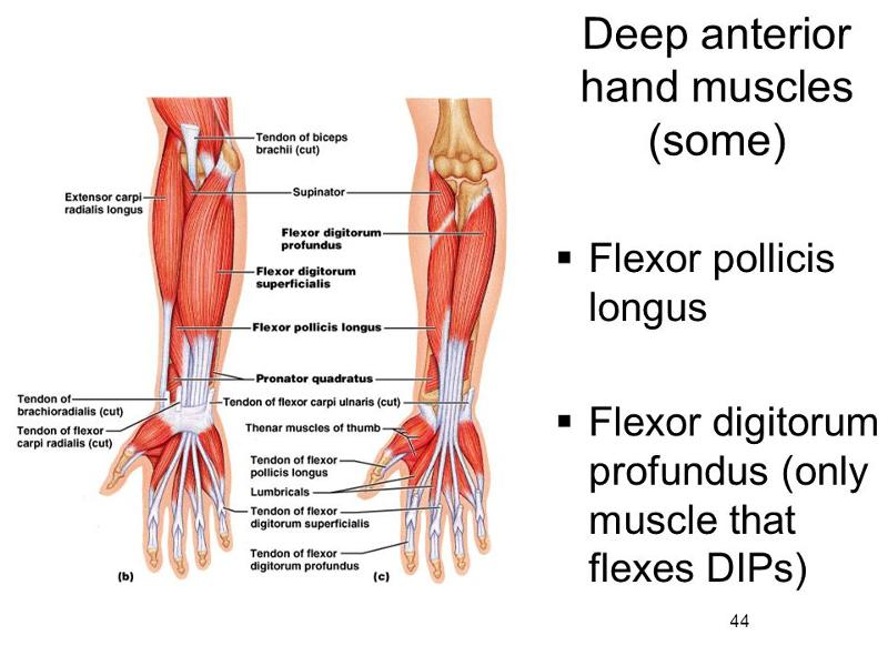 muscles of the forearm and hand flashcards | easy notecards, Cephalic Vein