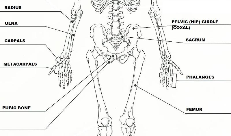Exercise 11 The Appendicular Skeleton Flashcards Easy Notecards