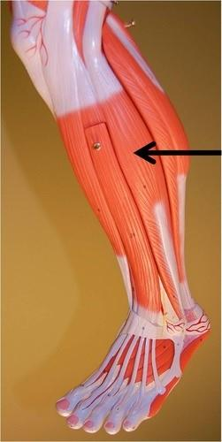 Bio210 Back and Leg Muscle Flashcards | Easy Notecards