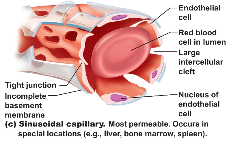 Spip as well Human Respiratory System Organs Anatomy Respiratory System together with Viii 14 furthermore 9319983 furthermore Animal Tissues. on endocrine cells