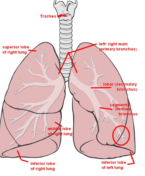 review sheet 36 anatomy of the respiratory system - Mersn.proforum.co