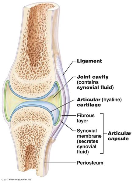 Body Cavities 54813809 likewise Anatomy And Physiology The Spinal Column furthermore Animals Three   Animals with Body Cavities 3ADeuterostomes   Echinoderms and Chordates as well Major Bones Of Body together with Human Skeletal System Movement And Lo otion. on body cavities labeling