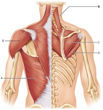 Neck Muscle  Letters