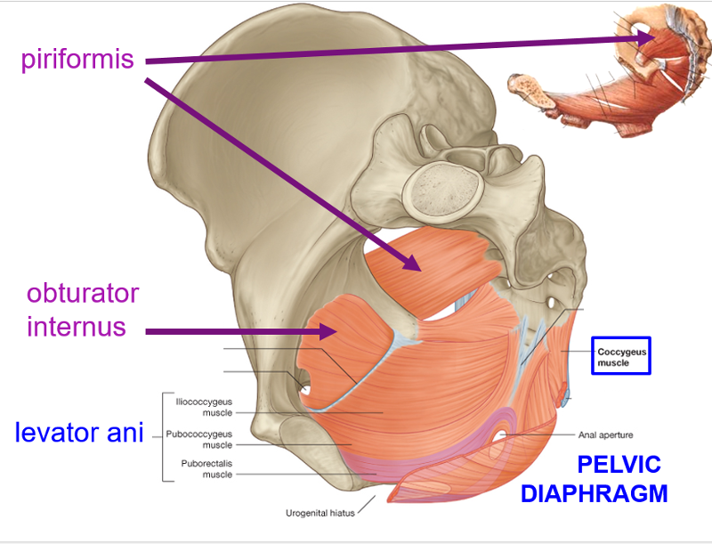 Diaphragm Muscle Anatomy Images - human body anatomy