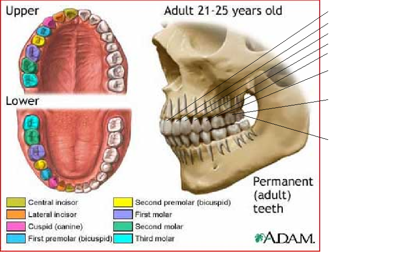 Activity 56 Identifying Types Of Teeth And Accessory Digestive