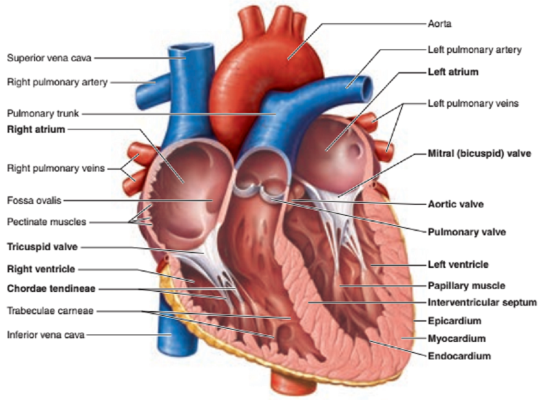 Print Activity 1 Gross Anatomy Of The Human Heart And Using The