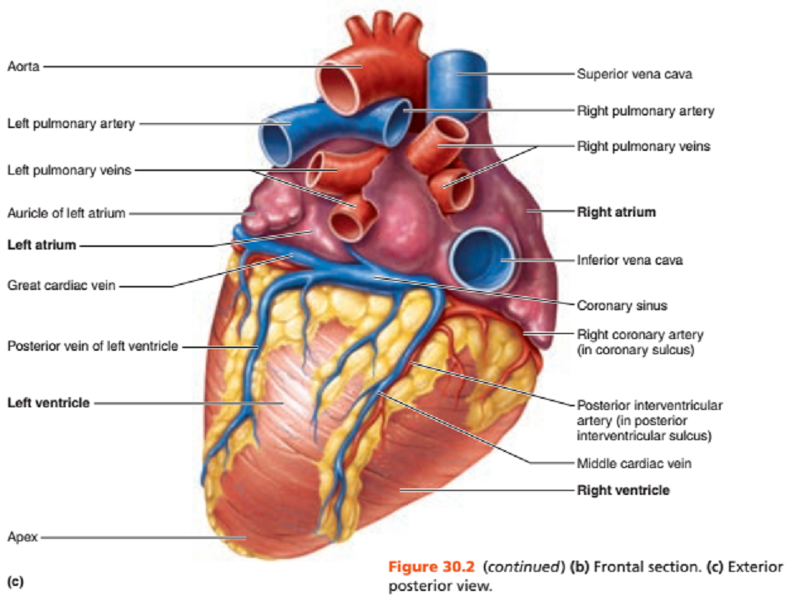 activity 1 gross anatomy of the human heart and using the heart model to study heart anatomy