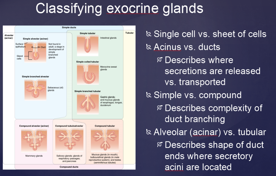 Print Vertibrate Histology Test 1 Flashcards Easy Notecards