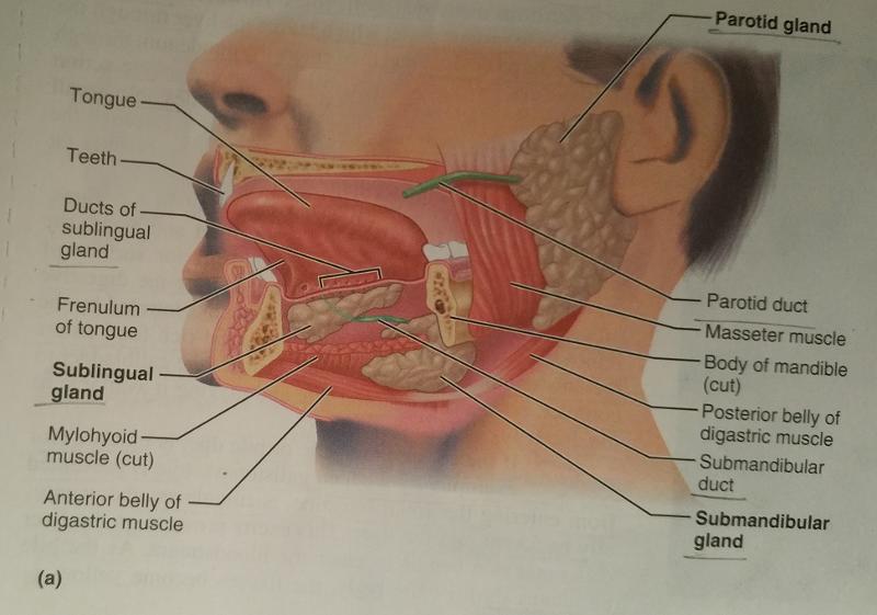 Activity 7: Salivary Glands and Examining Salivary Gland Tissue ...